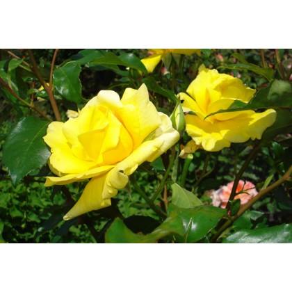 Trandafir de tija