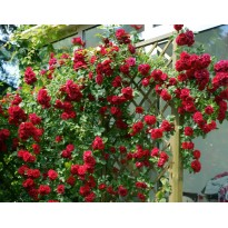 Trandafiri agăţători