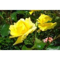 Trandafiri de tijă